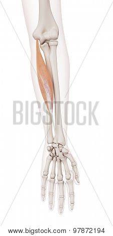 medically accurate muscle illustration of the flexor carpi radialis