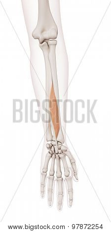 medically accurate muscle illustration of the flexor pollicis longus