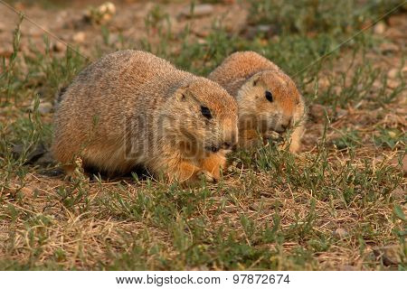 Prairie Dog Pair Feeding