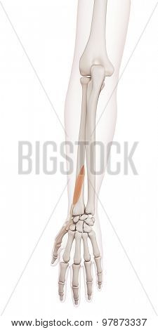 medically accurate muscle illustration of the extensor pollicis brevis