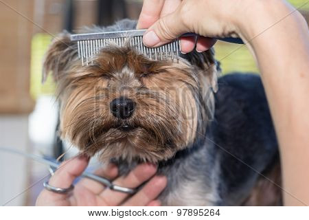 Grooming Of The Head Of Yorkshire Terrier