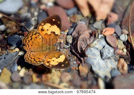 Beautiful  Yellow Brown Butterfly on a rock