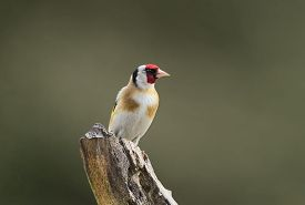 pic of goldfinches  - Goldfinch Carduelis carduelis perched on a branch - JPG