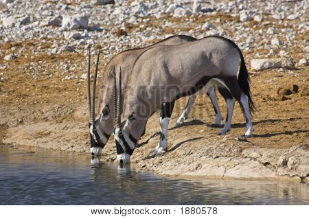 Par de Oryx beber.