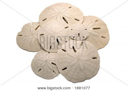 Sand Dollars In A Pile