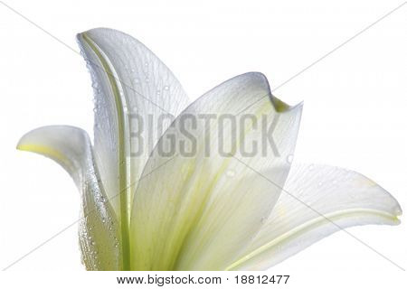 Lilly  flower