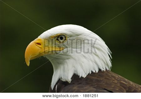 Bald Eagle Profile Headshot