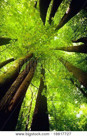 Beech canopy