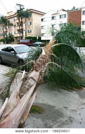 Storm in California knocked down the palm tree