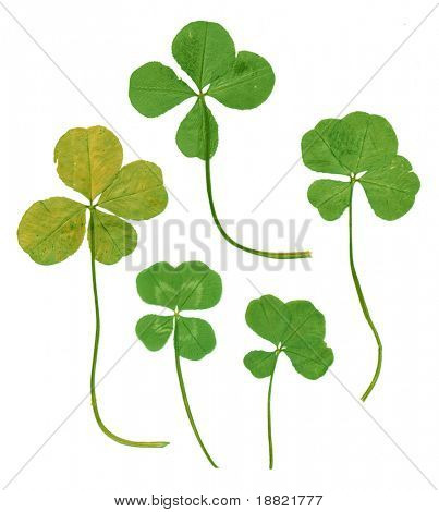 Scanned four leaf clovers