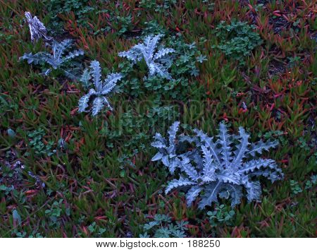 West Coast Ice Plant Texture