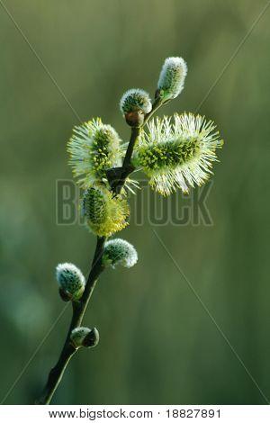 Blooming spring branch
