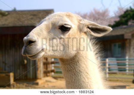 Llama'S Portrait