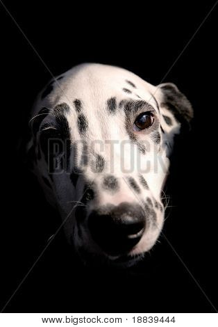 Cute Dalmatian dog female puppy closeup portrait isolated on black