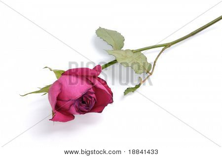 Red withered rose isolated on white background