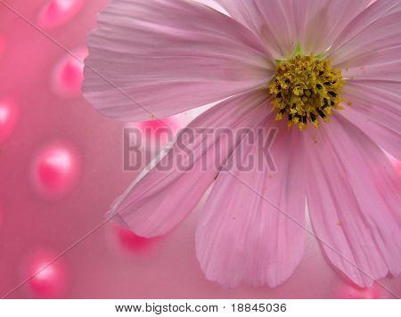 pink cosmea flower against a pink latex background