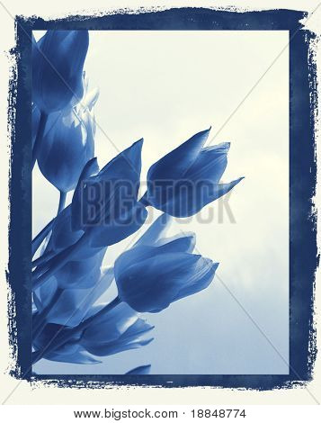 cyanotype photographic reproduction floral