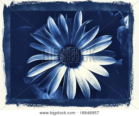 photographic reproduction cyanotype 'Delft Blue Daisy'