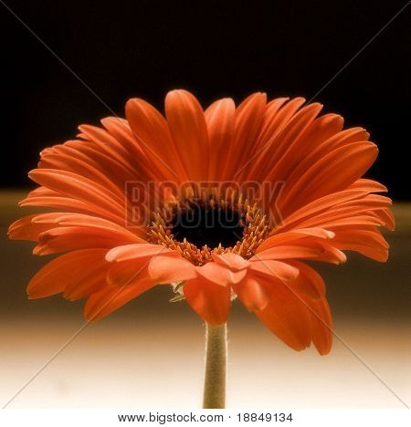 early color photographic reproduction showing a orange gebera daisy against a black and white background