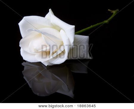 Single fallen white rose on black background