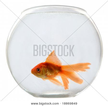 Aquarium on a white background with a goldfish