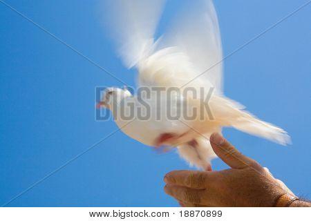 Die Taube auf dem Hintergrund des Himmels. The greased movement