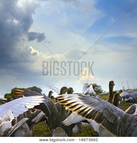 wild goose chase on green lawn with daisies and blue cloudy sky background