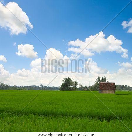 Green rice field on island Bali
