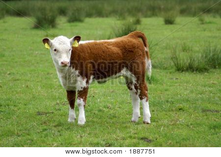 Young Hereford Cow Standing Up.