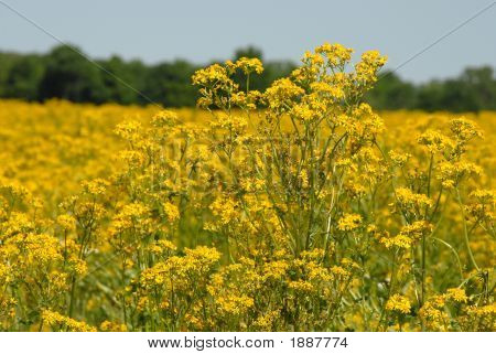 Butterweed 1