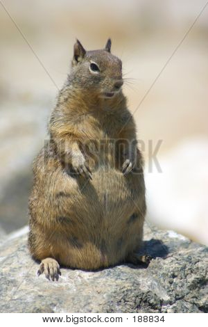 Pregnant Ground Beach Squirrel