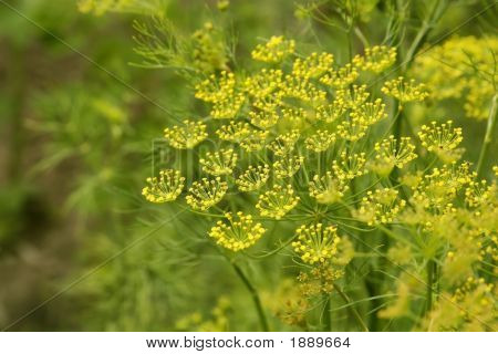 Macro Of Dill With Stamen