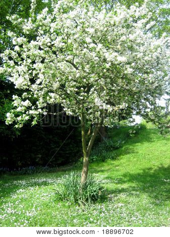 White cherry blossom tree in spring season