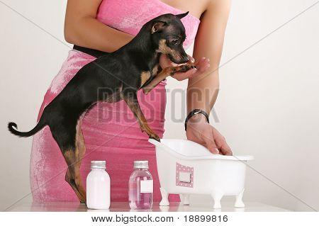 Little toy terrier taking a bath
