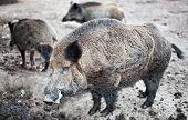 pic of wild hog  - Boars - JPG