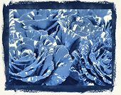 photographic reproduction cyanotype, Delft Blue Hocus Pocus Roses