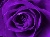 image of purple rose  - digitally enhanced purple rose background - JPG