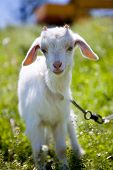 picture of pygmy goat  - Kid on a meadow - JPG