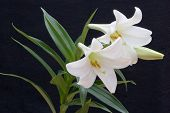 stock photo of white lily  - A creamy white lily on a black background  - JPG