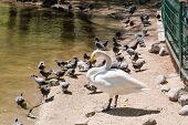 Постер, плакат: The Swan Cleans Feathers Swan Ashore