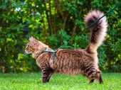 Black tabby Maine Coon cat with leash wandering in backyard. Young cute male cat wearing a harness g poster