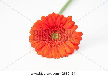 Lonely Red Gerbera Flower