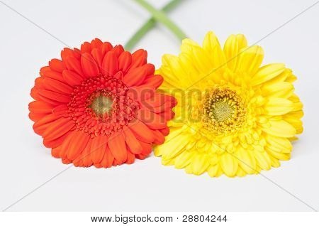 Couple Of Red And Yellow Gerbera Flowers On White