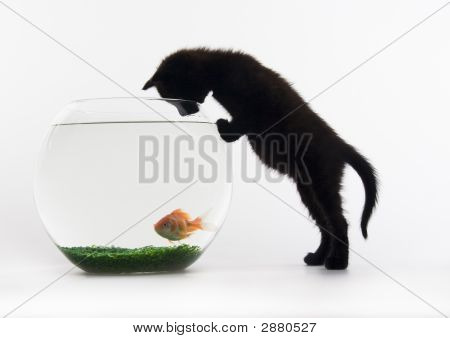 Cat & Gold Fish