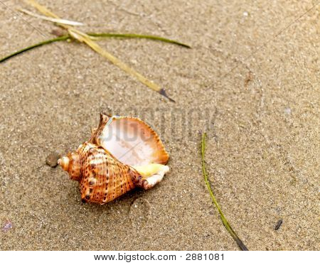 Shell On Coast Sand