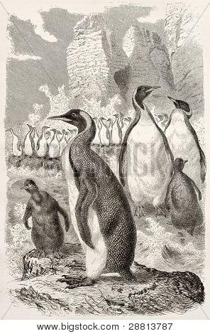 King penguin old illustration (Aptenodytes patagonicus). Created by Kretschmer and Illner, published on Merveilles de la Nature, Bailliere et fils, Paris, ca. 1878