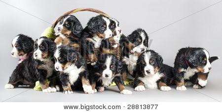 puppy Berner Sennenhund