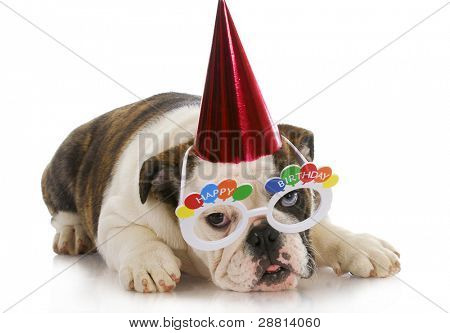 birthday puppy - english bulldog wearing party hat and silly glasses on white background
