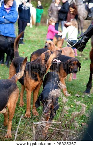 BERKSHIRE - DECEMBER 26: Pack of Bloodhounds at the Stanford Dingley Boxing Day Hunt on December 26, 2011 in Berkshire.