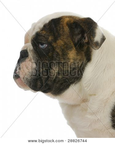 cute puppy - english bulldog puppy with blue eye - 4 months old